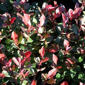 Photinia Red Robin : photinia red robin 125 150cm 15lplants ~ Michelbontemps.com Haus und Dekorationen