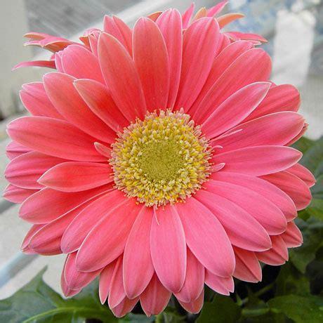 materi kuliah tanaman hias  bunga mikolehis blog