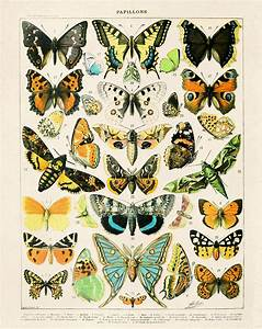 French Butterfly Diagram 2 Vintage Reproduction  Variety Of