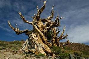 Meet The Oldest Trees On Earth