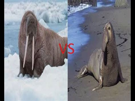 Walrus Vs Elephant Seal walrus vs southern elephant seal