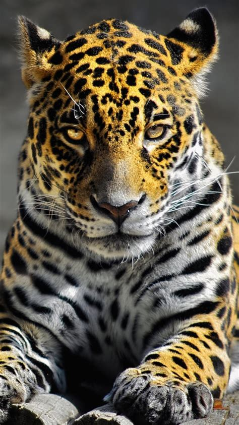 Jaguar Animal Iphone Wallpaper - cheetah backgrounds for iphone 13 wallpapers adorable