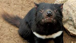 Second Contagious Cancer Found in Tasmanian Devils | The ...