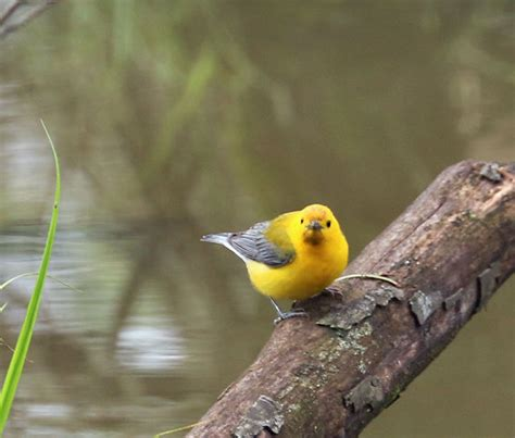 carolina bird club photo gallery