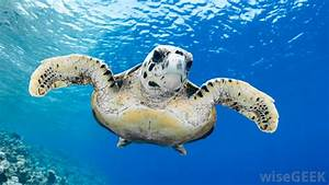 What Is a Flatback Turtle? (with pictures)