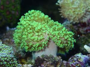 Coral of the Week: NEON GREEN POLYP TOADSTOOL (Sarcophyton ...