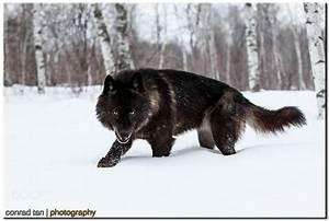 Minnesota, USA: Black Timber Wolf   Rebrn.com