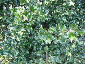 Ilex Hecke Giftig : stechpalme 39 blue angel 39 stechpalme ilex immergr ne ~ Lizthompson.info Haus und Dekorationen