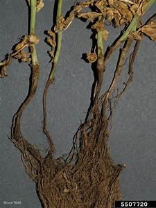 Black Root Rot  Thielaviopsis Basicola   On Field Pea