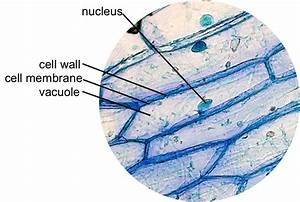 Epidermal Onion Cells Under A Microscope  Plant Cells