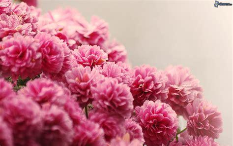 Rosa Blumen rosa blumen