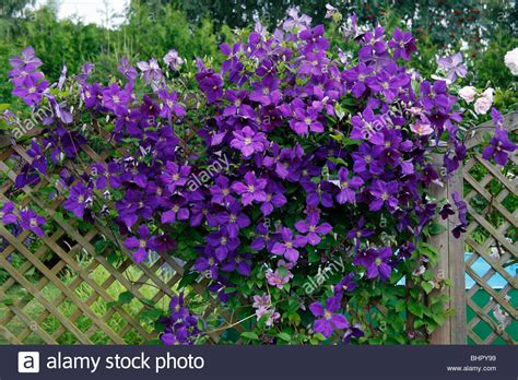 Clematis Trellis by Flowering Clematis X Jackmanni Growing On Trellis In