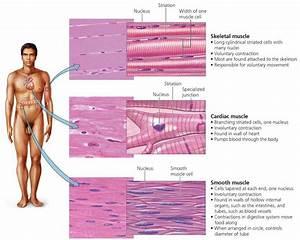 Body Organization And Homeostasis