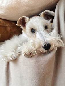 269 best Wirehair Fox Terriers images on Pinterest | Wire ...