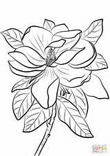 Magnolia Coloring Flower Pages Grandiflora Flowers Louisiana Pelican State Printable Drawing Paper Brown Getcolorings Bird Dot sketch template