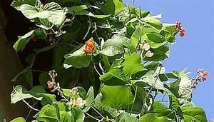 Schnell Rankende Pflanzen : feuerbohnen pflanzen als sichtschutz und zum ernten ~ Frokenaadalensverden.com Haus und Dekorationen