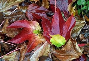 Rote Blätter Baum : herbstlaub unter der lupe ~ Michelbontemps.com Haus und Dekorationen