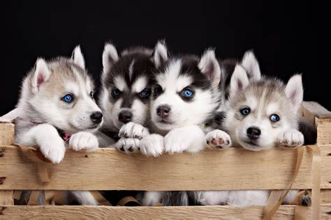 puppies   husky