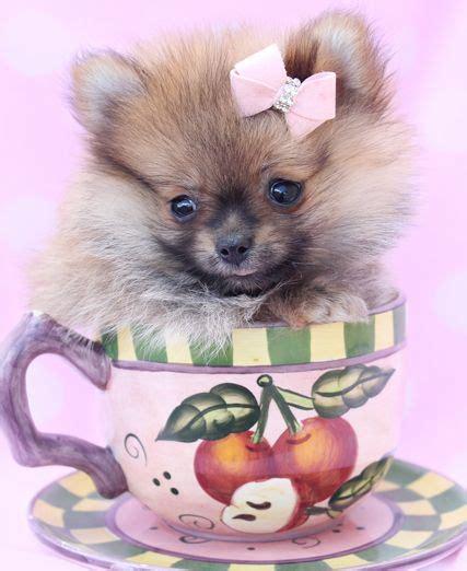 17 best images about teacup pomeranians pomeranian
