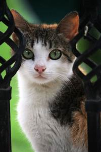 547 best images about Calico Cats on Pinterest   Calico ...