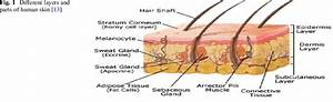 Different Layers And Parts Of Human Skin  13