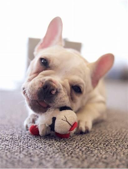 Gifs Dog Bulldog Puppy French Funny Puppies