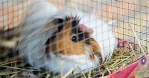 Cage A Cochon D Inde : choisir une cage pour son cochon d 39 inde mod les ~ Dallasstarsshop.com Idées de Décoration