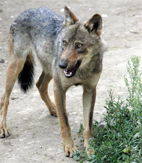 hautes alpes davantage de loups 224 abattre la sapn n est pas d accord