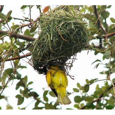 African Weaver Bird Nest Related Keywords -