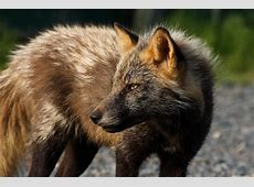Free picture red fox, face, wild, animal