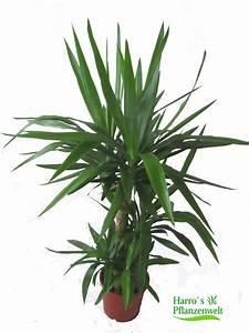 Yucca Palme Winterhart : yucca palme kaufen zimmerpflanze herausragende qualit t ~ A.2002-acura-tl-radio.info Haus und Dekorationen