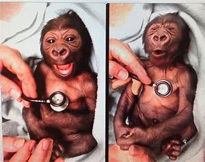 Cute baby gorilla getting a cold stethoscope | Funny Stuff ...