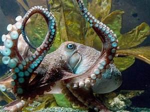 Tiere Für Aquarium : tiere aquarium feiert ausgeb xten krake inky ~ Lizthompson.info Haus und Dekorationen
