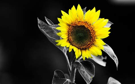 sunflower black  white yellow color hd wallpaper