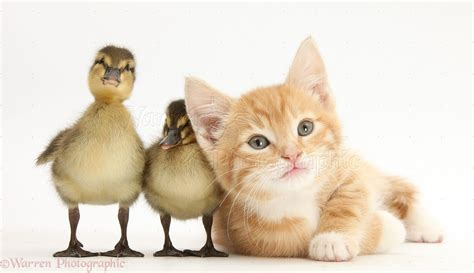 Ginger Kitten And Mallard Ducklings Photo Wp27909