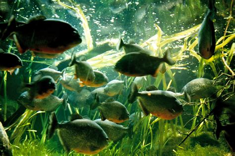 freshwater aquarium fish tropical freshwater fish for sale images