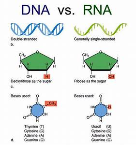 Nucleic Acid  Types And Constituents