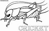 Cricket Coloring Pages Print Insects Drawings 12kb 649px 1000 sketch template