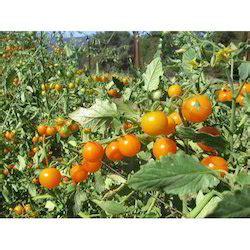 hybrid vegetable seeds hybrid vegetable beej suppliers