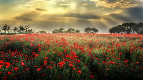 meadow  red poppies dark black clouds sun rays