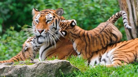 Baby Animals Hd Wallpapers - tiger animals nature baby animals wallpapers hd