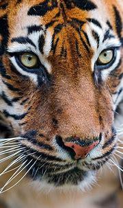Close up of the Sumatran tigress | Portrait of the female ...