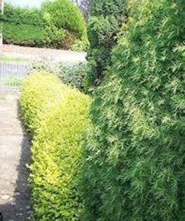 Le siepi fiorite sono invece formate da piante che fioriscono durante la stagione primaverile o estiva. siepi da giardino sempreverdi - Siepi