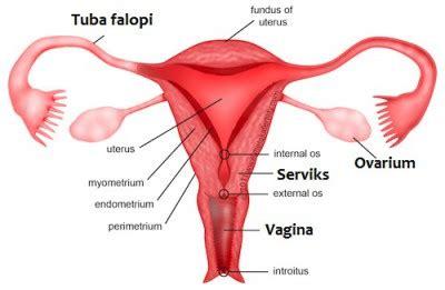 Rahim Wanita Keluar Alat Reproduksi Manusia Beserta Fungsinya Dosenbiologi Com