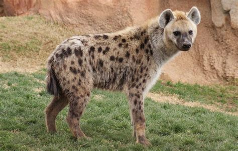 Hyena Animal Planet The Most Extreme Wiki Fandom