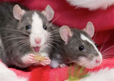 rat wallpapers images  pictures backgrounds