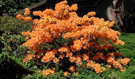 arbustes à fleurs arbustes 224 fleurs orange a commander en ligne