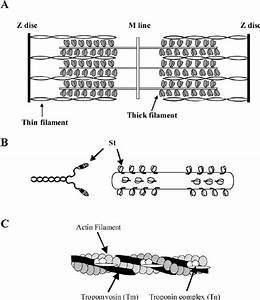 Sketch Of A Sarcomere  Thick Filament And A Thin Filament