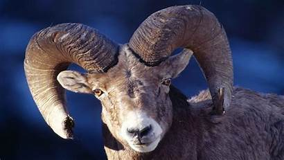 Horns Ram Sheep Animals Wallpapers Definition Updated