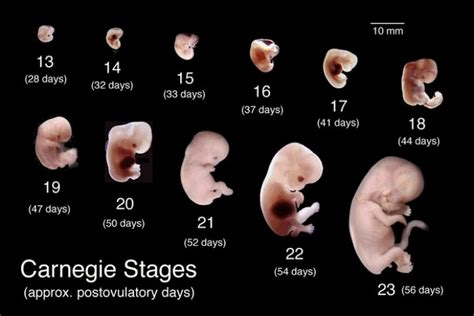 Bb Janin 30 Minggu The Blog Fodder Human Fetal Development Part 2